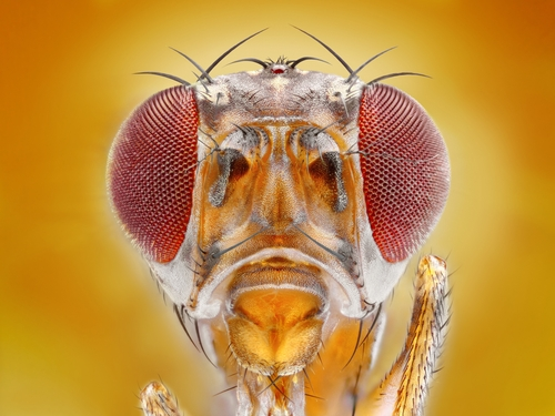 Extreme sharp macro portrait of the Drosphila melanogaster fruit fly, one of the species of flies in the study.